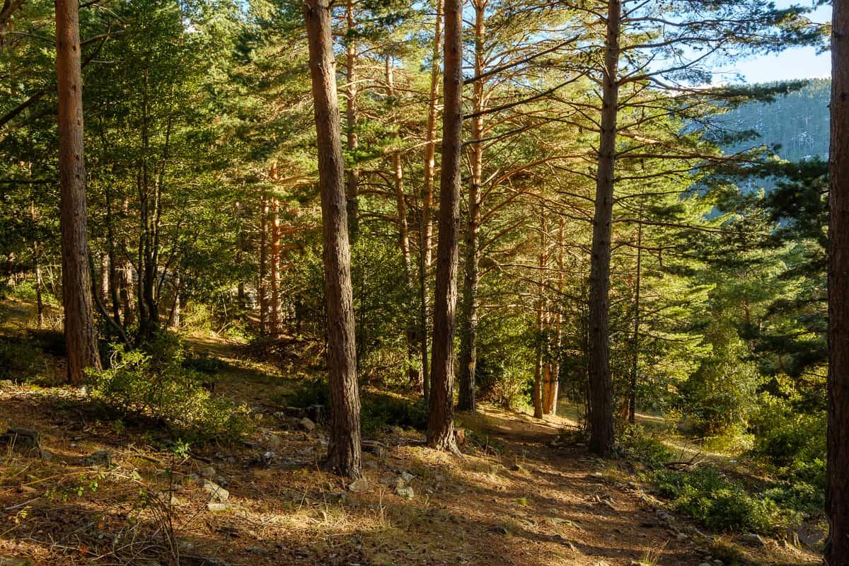 El bosque de pinos del Sendero de las Cascadas del Puente Ra en otoño
