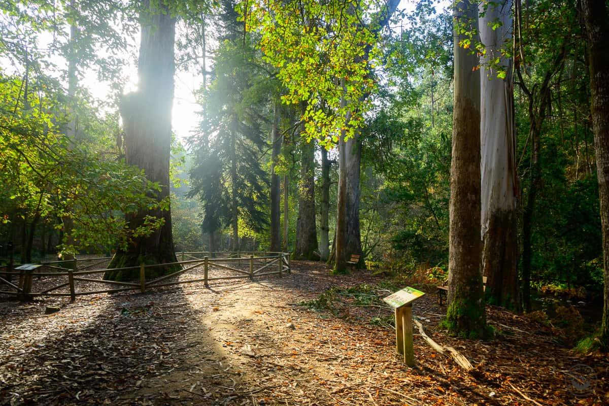 Ruta por el bosque de los gigantes en Souto da Retorta